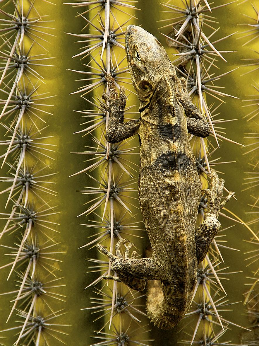 Ctenosaura (iguana costera endémica)